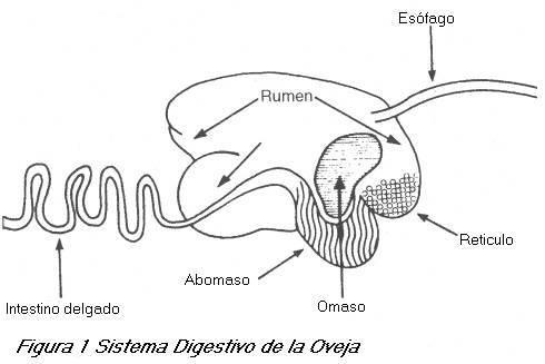 Artículos de ganaderia : Sistema Digestivo de la Oveja.